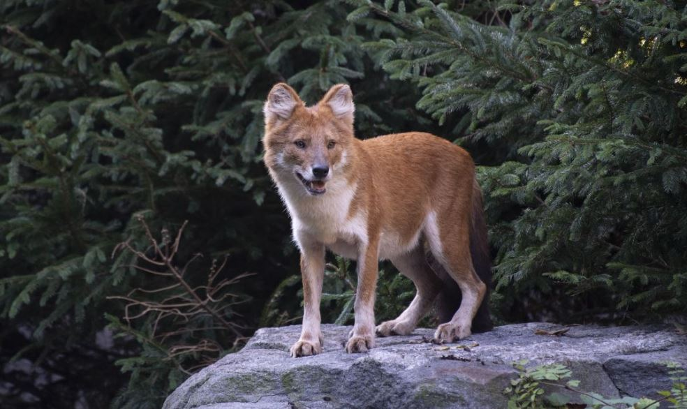 Dhole sitting on a rock in the Bronx zoo